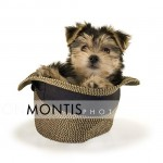 Giad The Cutest Morkie Blog